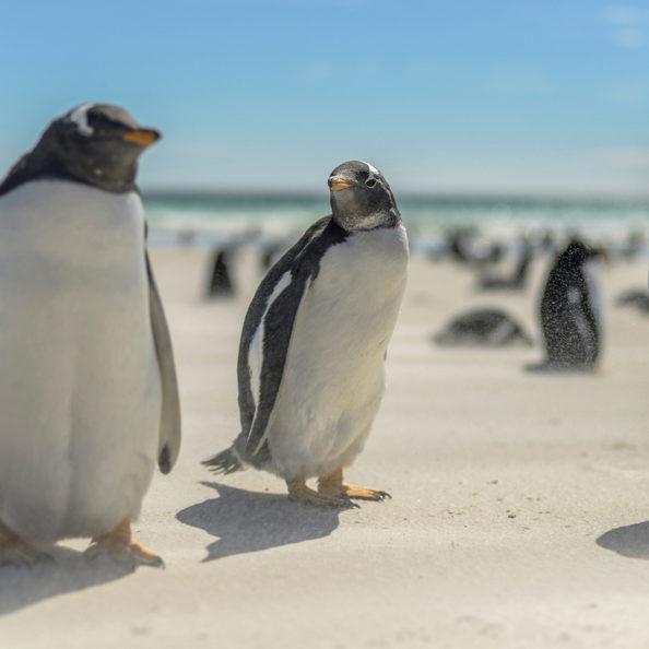 Gentoo Penguin, Volunteer Point