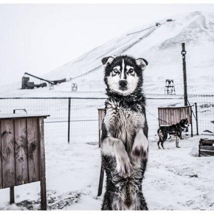 Svalbard Husky, Longyearbyen